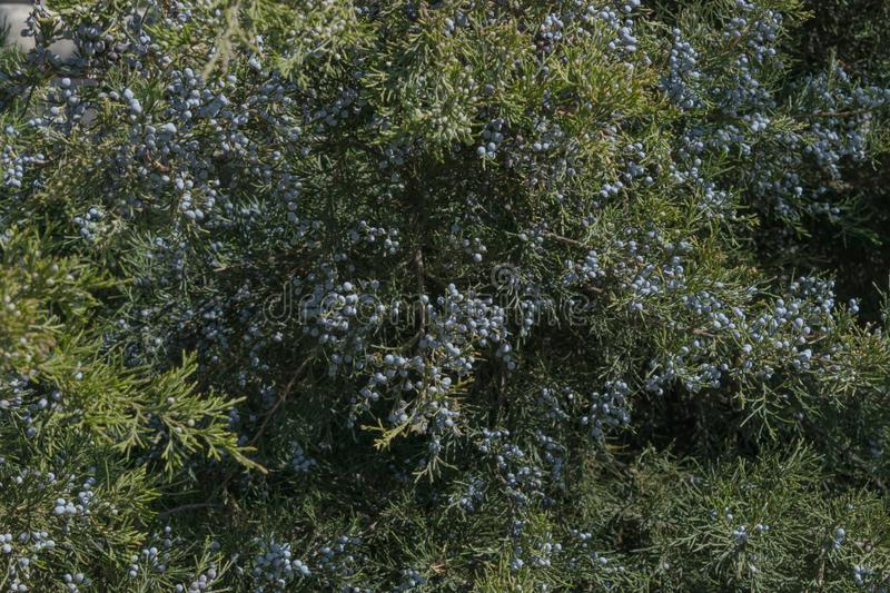 Juniper berries are densely covered with green branches in the rays of the warm spring sun.  royalty free stock images
