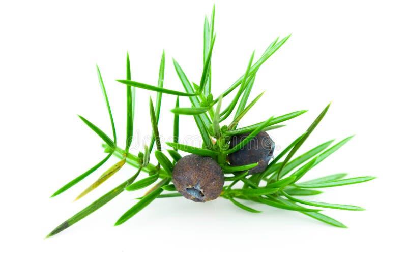 Download Juniper Berries (juniperus Communis). Royalty Free Stock Image - Image: 17109966