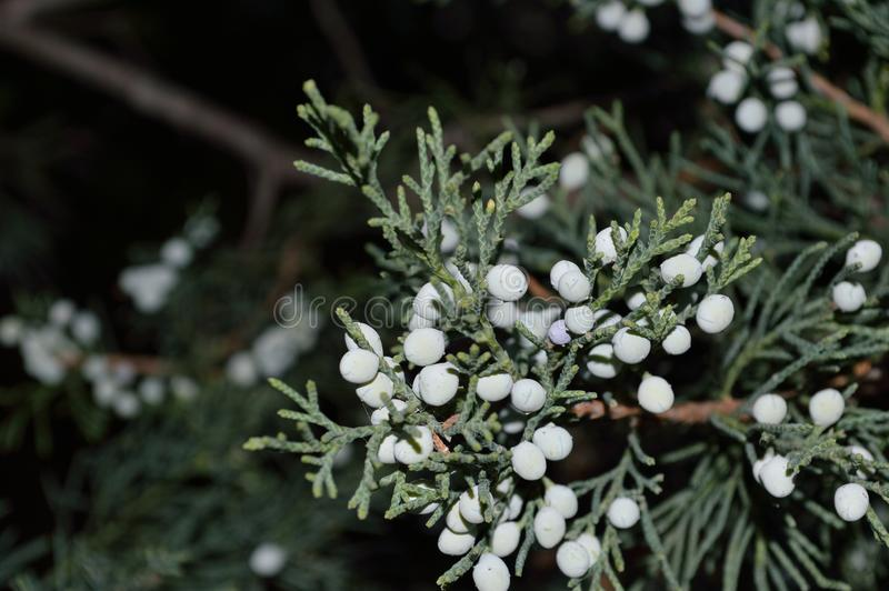 Juniper berries L Juniperus closeup royalty free stock images