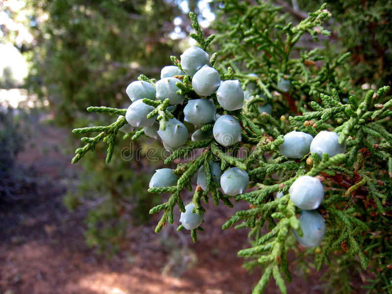 Juniper Berries. Berries on a juniper tree in New Mexico royalty free stock image