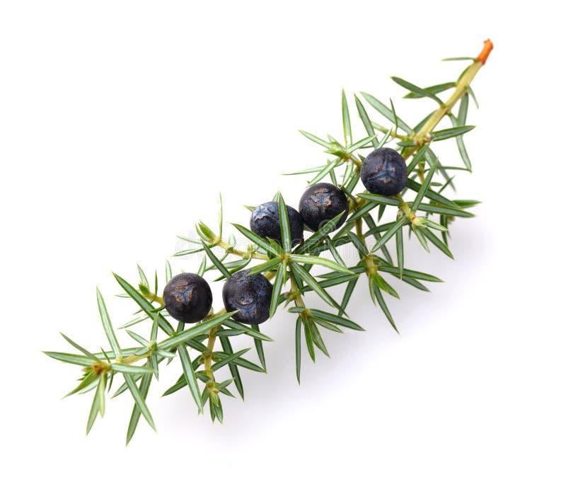 Juniper berries stock image. Image of color, recipe ...