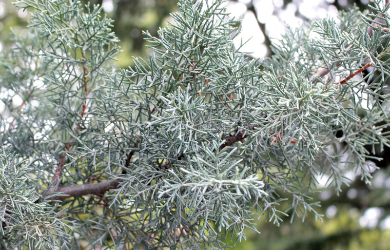 Junipers are coniferous plants in the genus Juniperus of the cypress family Cupressaceae. Juniper blue. Junipers are coniferous plants in the genus Juniperus of royalty free stock photography