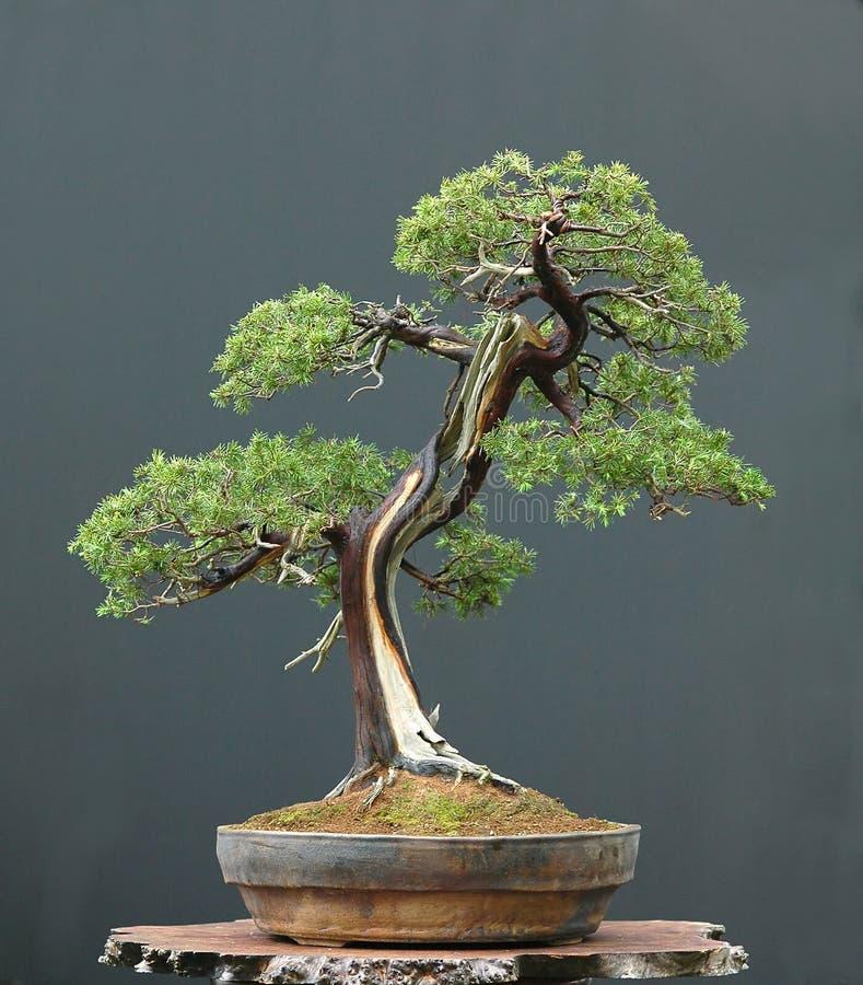 Juniper bonsai stock photo