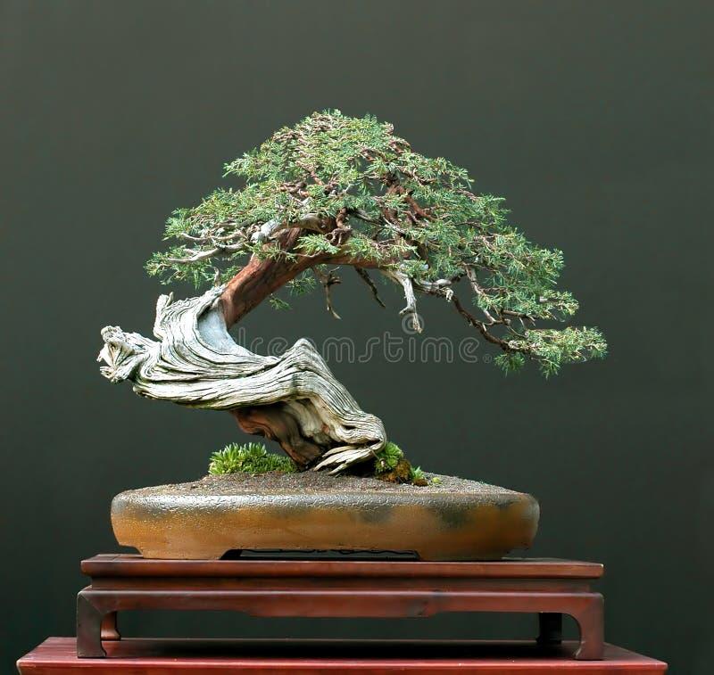 Free Juniper Bonsai Stock Photos - 2761993