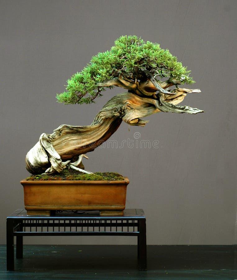 Juniper bonsai, American stock photo