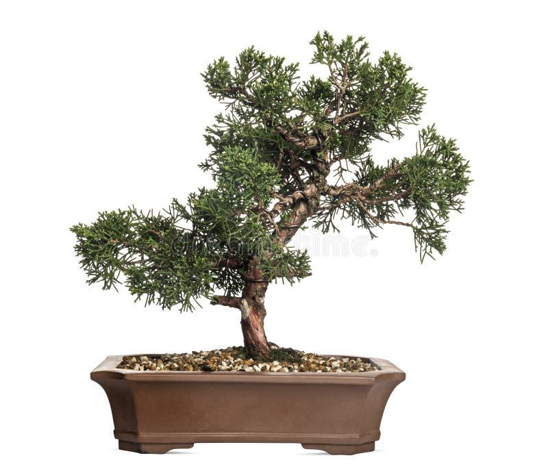 Juniper bonsai tree, Juniperus, isolated royalty free stock image