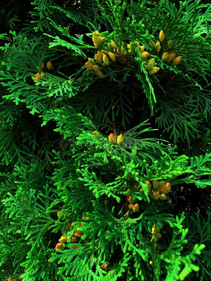 Juniper branch with yellow cones. royalty free stock photography