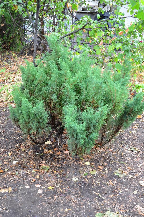 The juniper bush. royalty free stock photos