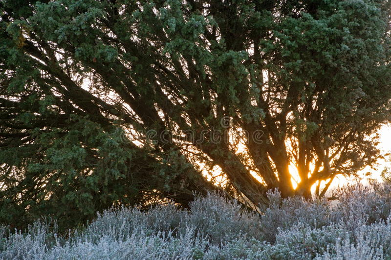 Juniper Bush in the light of the rising sun royalty free stock photography