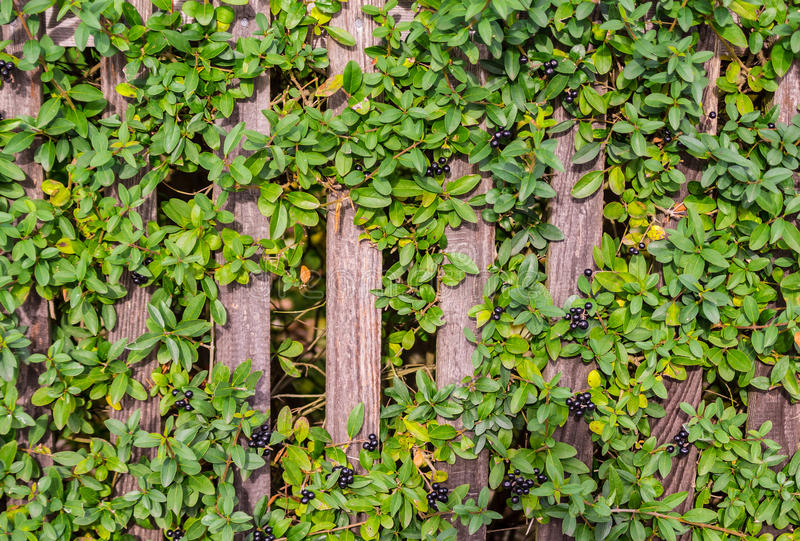 Juniper on the fence. royalty free stock photos