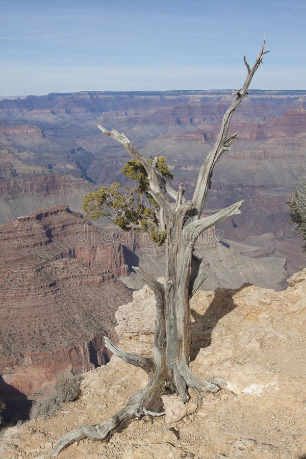 Download Juniper and Grand Canyon stock photo. Image of colorado - 22484976