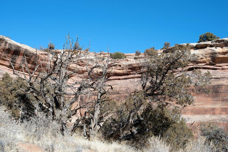Juniper and red rock cliffs in western Colorado canyon stock photos
