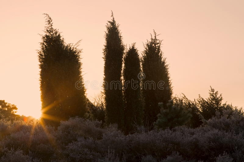 Juniper and the rising sun. Netherlands royalty free stock photos