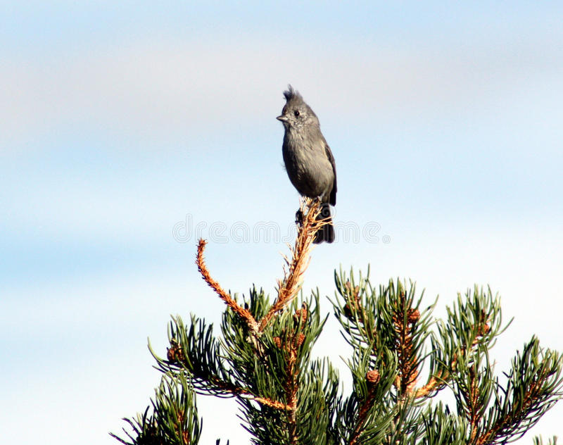Juniper Titmouse Royalty Free Stock Photo