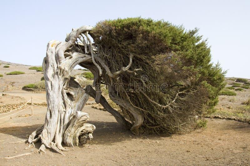 Juniper tree. Juniperus phoenicea, the Phoenicean Juniper tree or Arar, in El Sabinar, El Hierro, Canary Islands, Spain stock images