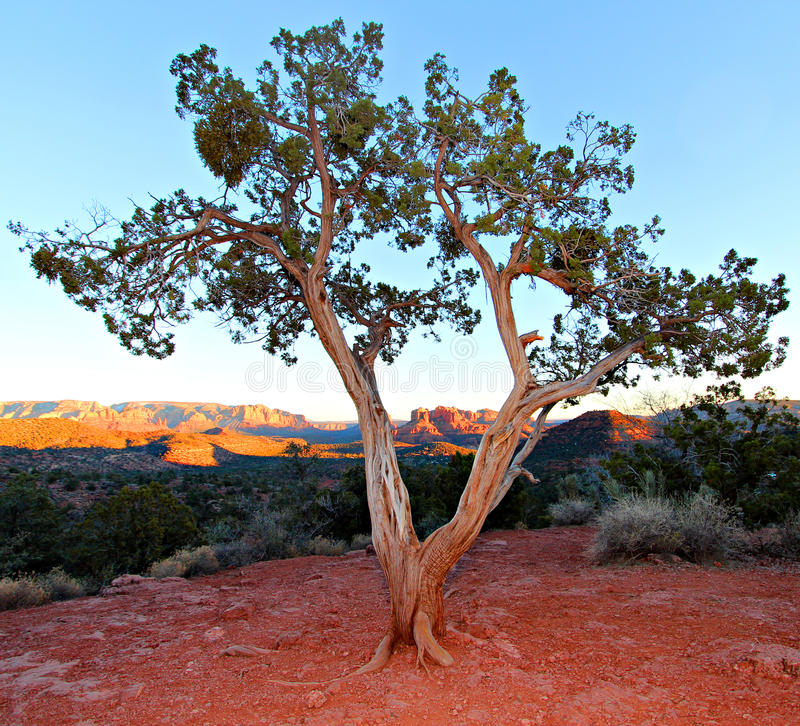 Juniper tree. Old twisted juniper tree in Arizona USA royalty free stock photo