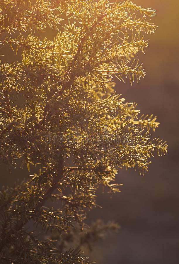 A juniper tree branch at sun light in the autumn evening. A soft light glows in the air, closeup, copy space, backlit stock photos