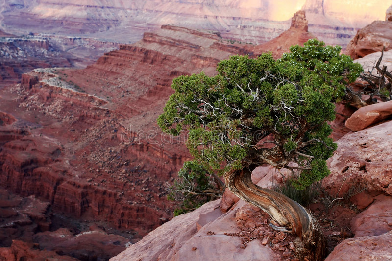 Juniper Tree and Canyon. Juniper tree growing on edge of red rock canyon stock photo