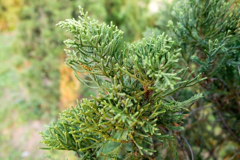 Juniper Tree In garden stock images