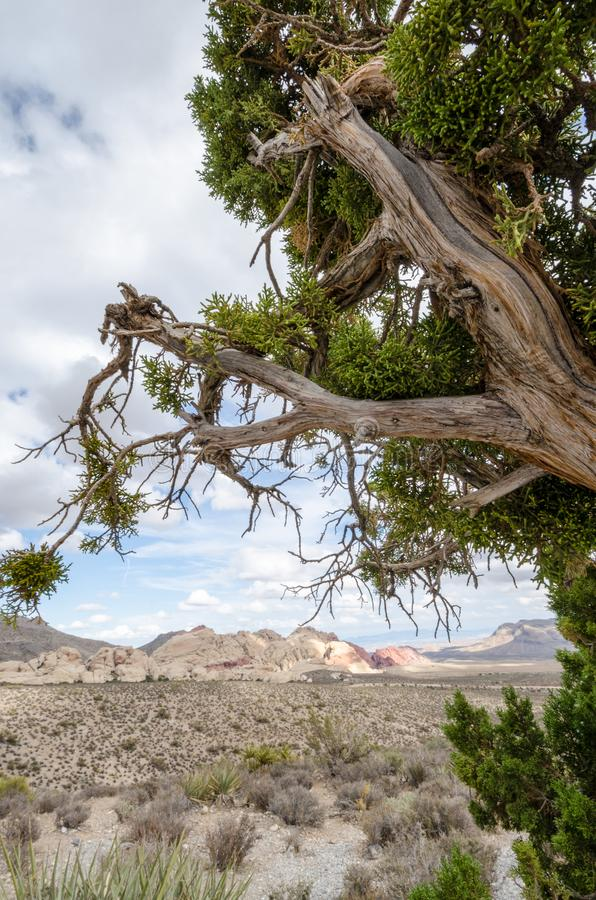 Juniper tree gives a natural frame to the desert scenery at Red Rock Canyon National Conservation Area. In NV stock photography