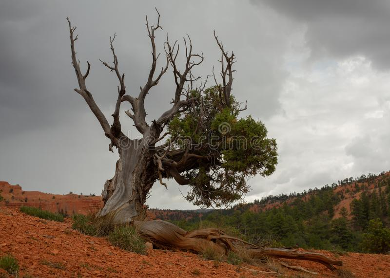 Juniper tree growing in red soil with a few green branches and some dry bare branches that reach up towards the cloudy sky. A juniper tree growing in red soil stock photos