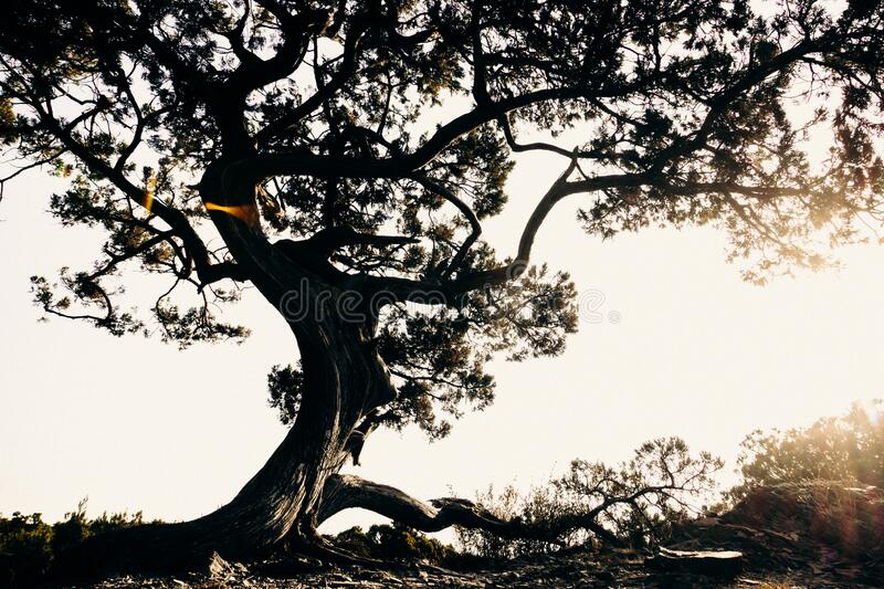 Juniper tree. Young juniper tree grows on a rocky rock against a white sky stock photos