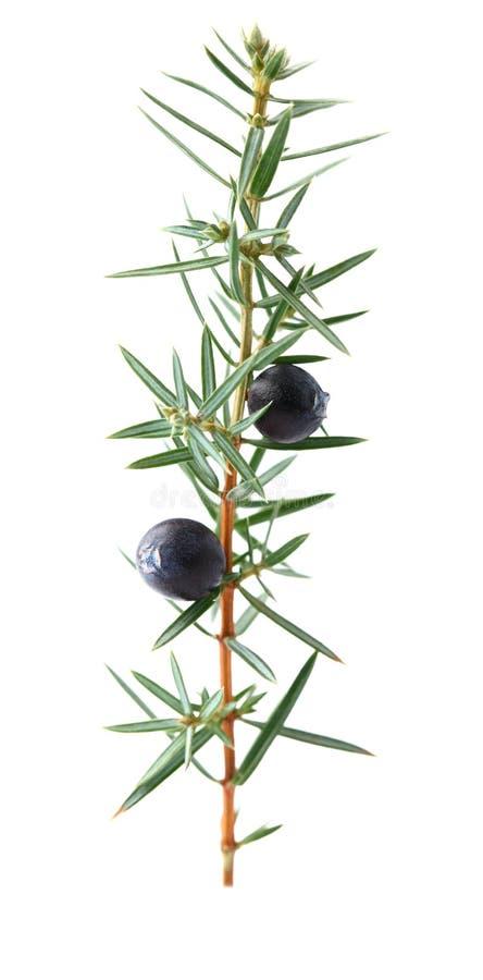 Juniper twig stock photography