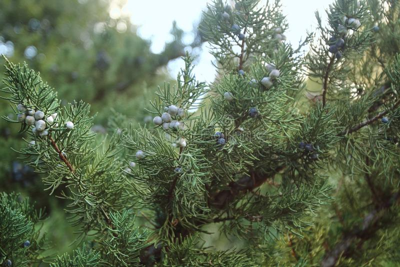 Juniperus chinensis в национальном ботаническом саде в Тбилиси в зиме стоковое фото