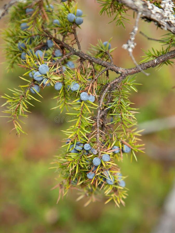 Juniperus communis zdjęcie stock