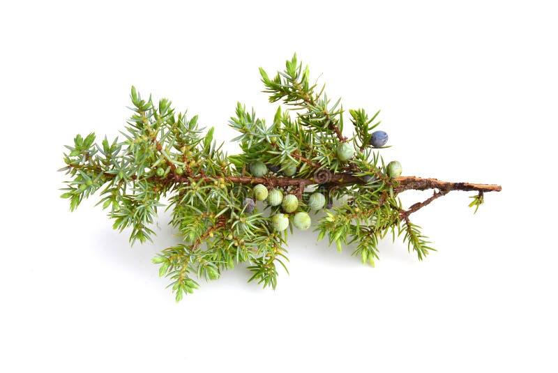 Juniperus communis. Common juniper Juniperus communis on white background stock photography