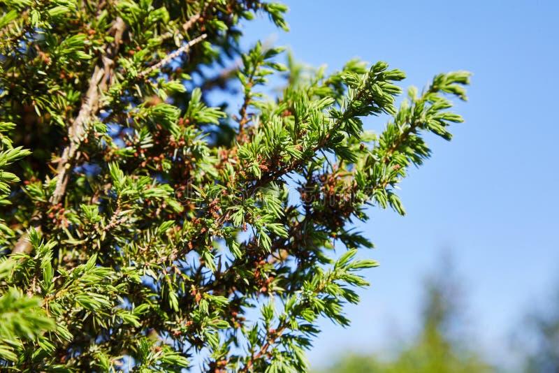 Juniperus communis die gelben männlichen Kegel stockfotos