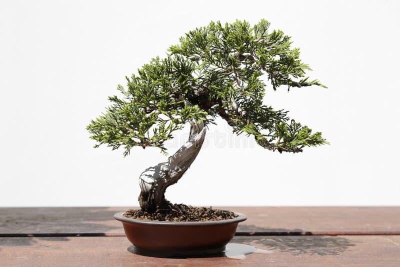 Juniperus de bonsai van Sabina royalty-vrije stock afbeelding