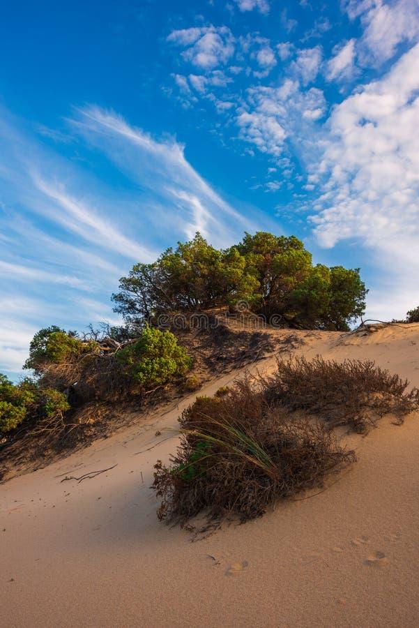 Juniperus drzewa na piasek diunach w Sardinia, Włochy zdjęcie royalty free