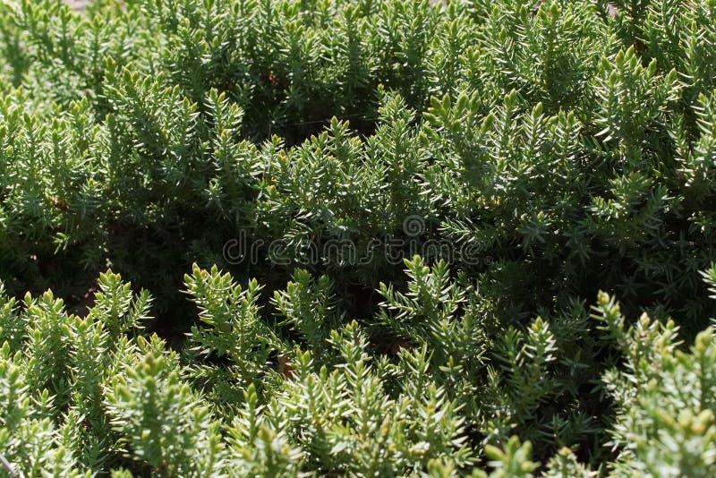 Juniperus gebladerte van de horizontalis het kruipende jeneverbes stock fotografie
