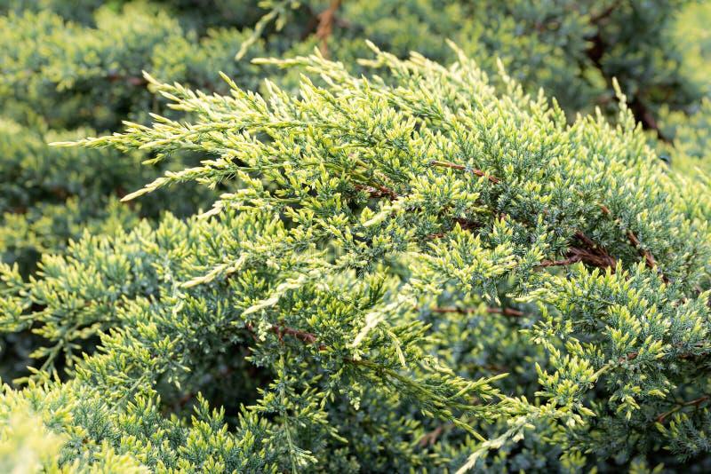 Juniperus horizontalis stockbild