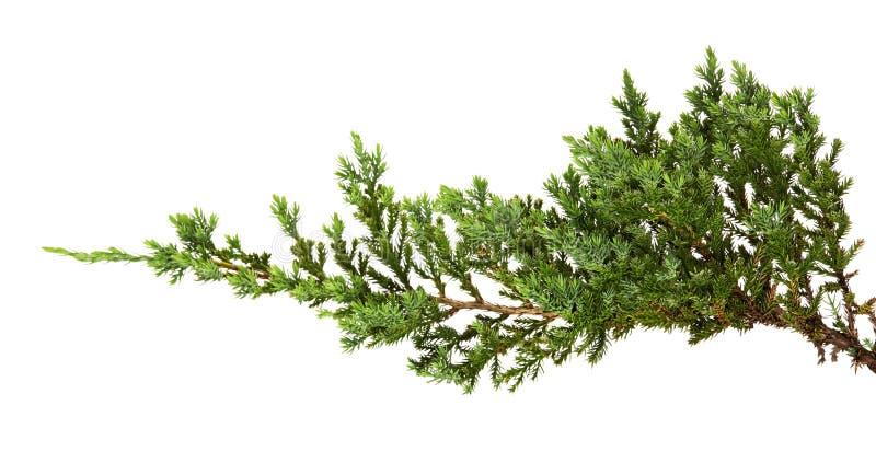 Juniperus horizontalisbladeren of Kruipende die jeneverbessenbladeren op witte achtergrond worden geïsoleerd royalty-vrije stock fotografie