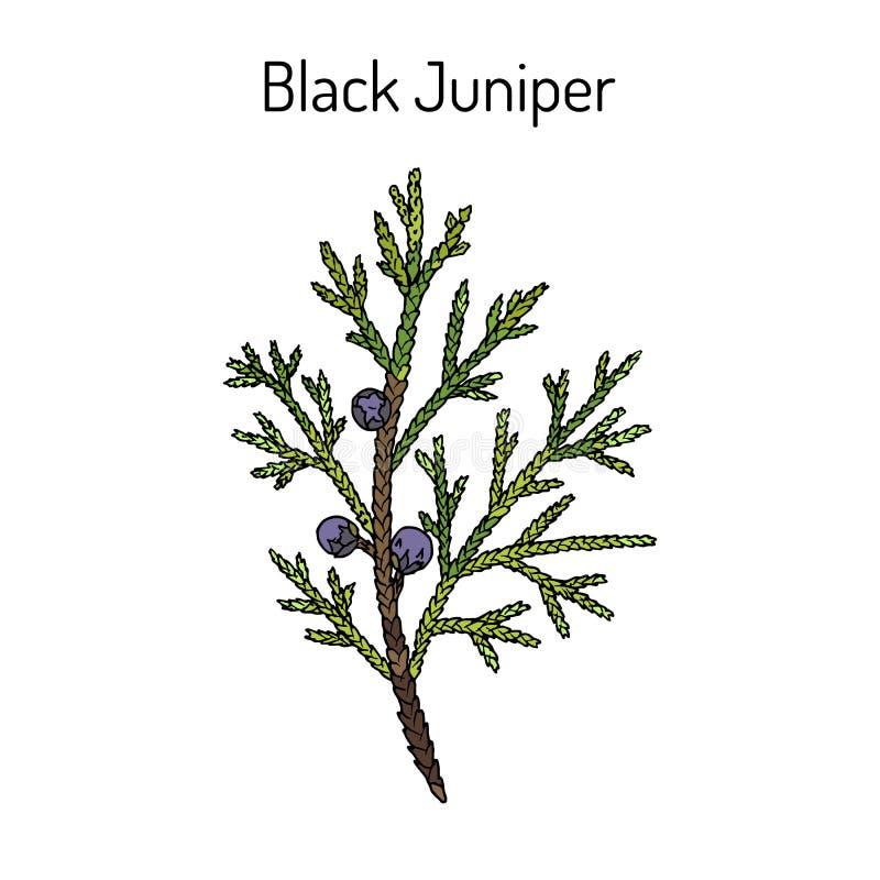 Juniperus noir de gen?vrier indica, plante m?dicinale ? feuilles persistantes illustration de vecteur