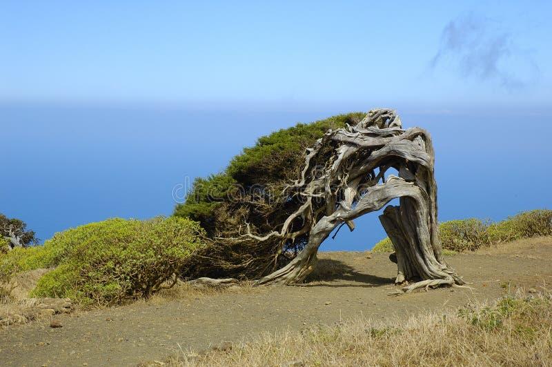 Juniperus phoenicea royalty-vrije stock afbeeldingen