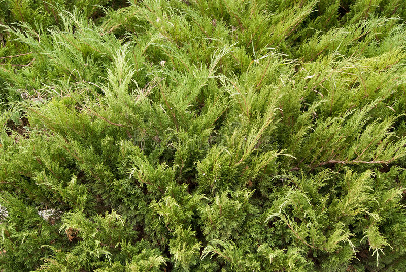 Juniperus Sabina fotografia stock libera da diritti