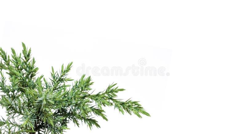 Juniperus squamata Hunnetorp flaky juniper o ginepro Himalayan isolato su fondo bianco immagini stock libere da diritti