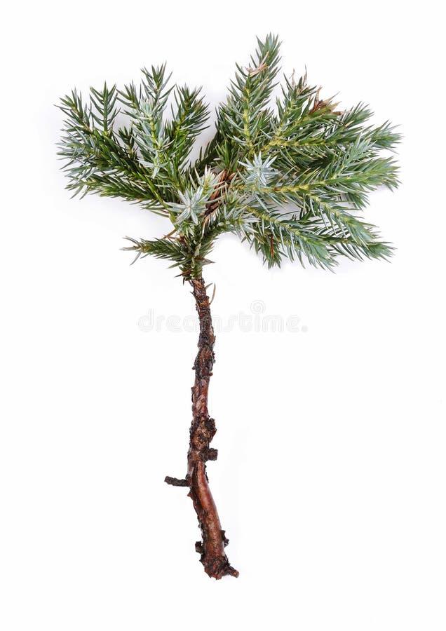 Juniperus squamata Płatkowaty jałowiec lub Himalajski jałowiec () zdjęcia royalty free