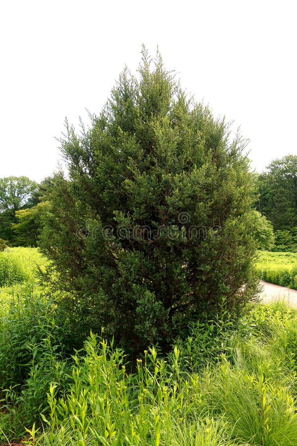 Free Juniperus Virginiana Royalty Free Stock Photos - 99156228