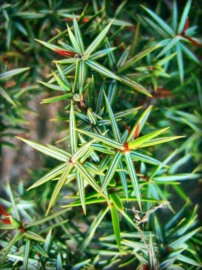 Juniperusmakro treibt Hintergrund und Tapeten in den Spitzendrucken der hohen Qualität Blätter stockfotografie