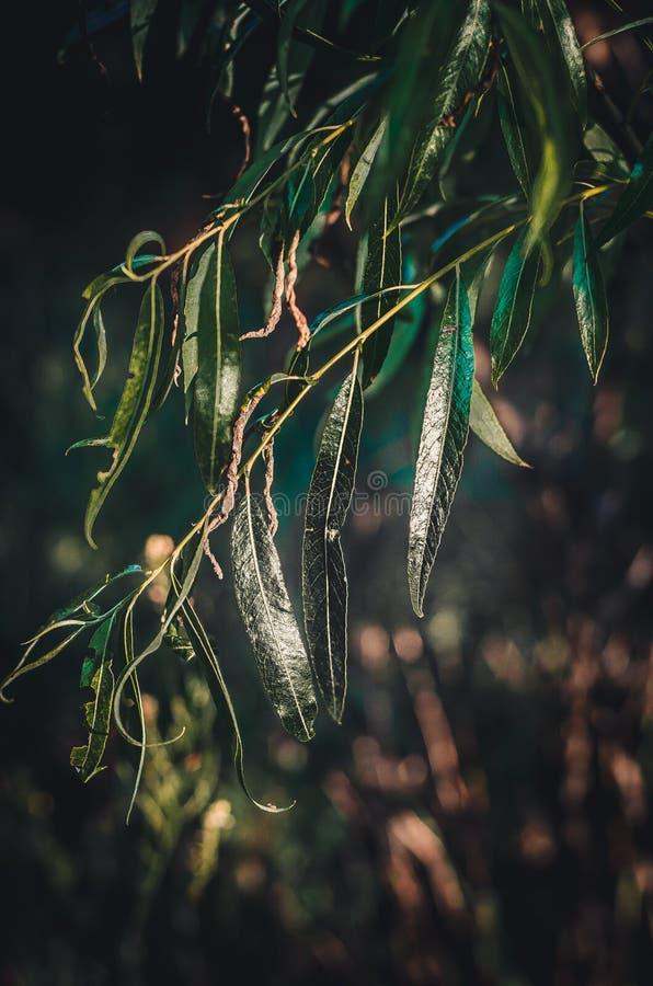 Junis varma solljuslekar i de gröna sidorna av en tårpilSalix Ljusa solstrålar reflekteras från den suckulenta gräsplanen arkivbild