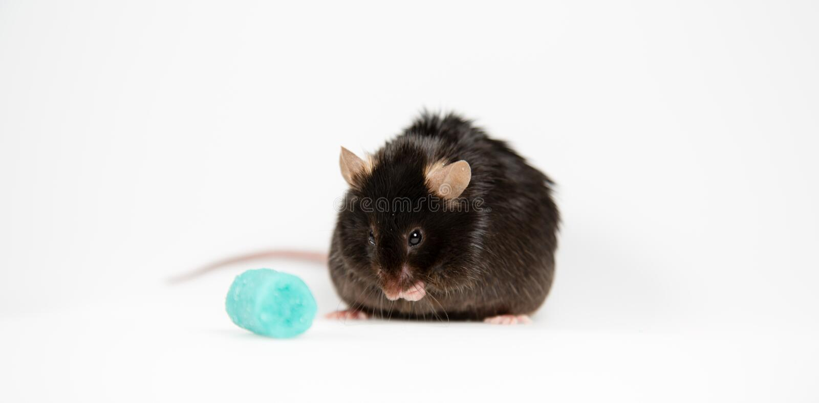 Junk food and obese mouse. Obese mouse fed with junk food, for scientific research stock photo