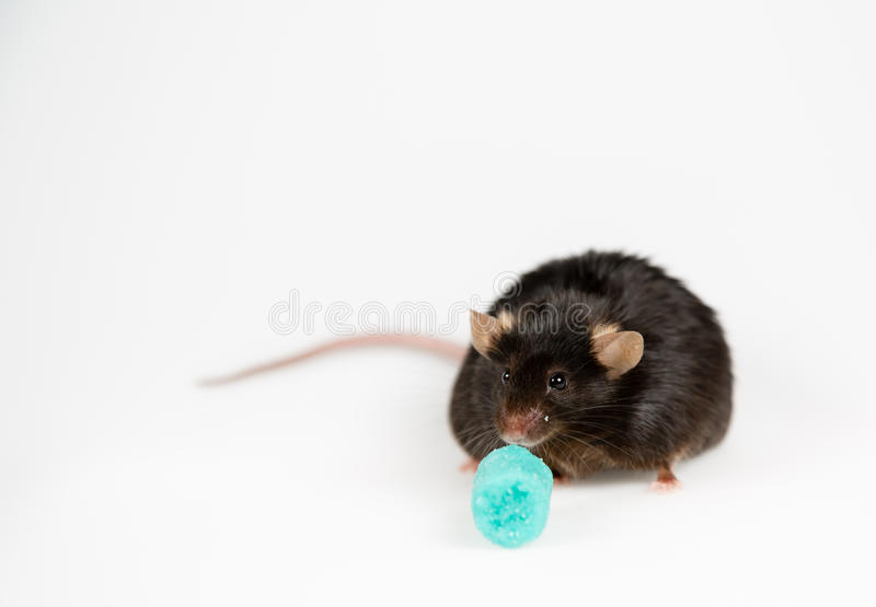 Junk food and obese mouse. Obese mouse fed with junk food , for scientific research royalty free stock photos