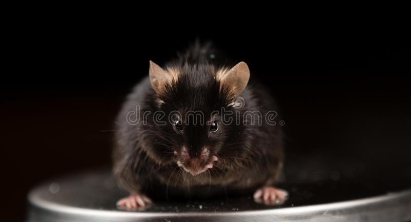 Junk food and obese mouse. Obese mouse fed with junk food , for scientific research royalty free stock image