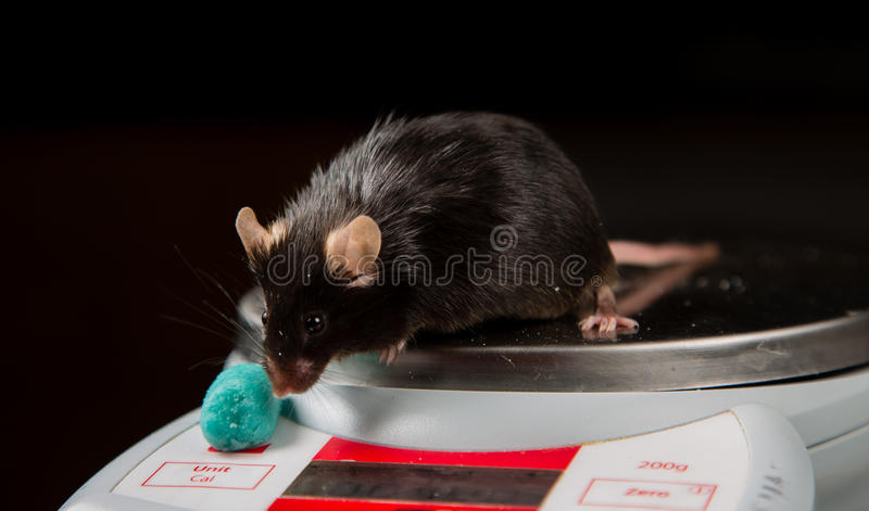 Junk food and obese mouse. Obese mouse fed with junk food, for scientific research royalty free stock images