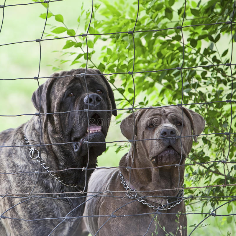 Free Junkyard Dogs Behind Fenced Area Royalty Free Stock Photography - 29029307