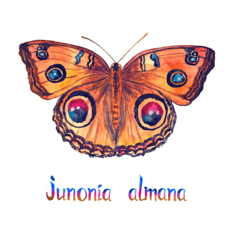 Junonia almana, pawi pansy, ręka malował akwareli ilustrację z inskrypcją ilustracja wektor